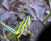 Grasshopper III Royalty Free Stock Photo