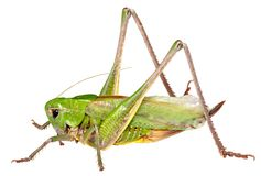 Grasshopper In Front Of Isolated White Background Royalty Free Stock Photo
