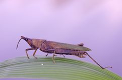 Grasshopper infected by fungus. On the green leaf Stock Photography