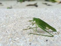 Grasshopper. Are insect Stock Images