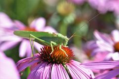 Grasshopper, Insect, Animal, Green Stock Photos
