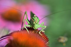 Grasshopper, Insect, Animal, Green Royalty Free Stock Photos