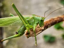 Grasshopper, Insect, Antennae, Wood Stock Photography
