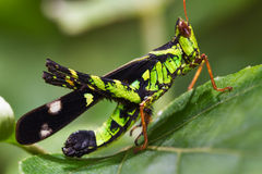 Grasshopper insect Royalty Free Stock Images