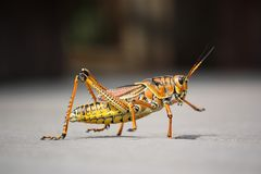 Grasshopper, Insect, Nature, Animal Stock Image