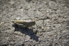 Grasshopper Insect On Pavement Road Royalty Free Stock Photography