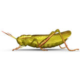 Grasshopper Royalty Free Stock Images
