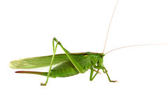 Grasshopper isolated Stock Images