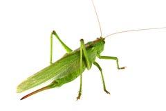 Grasshopper isolated Royalty Free Stock Image