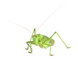 Grasshopper isolated Stock Photography