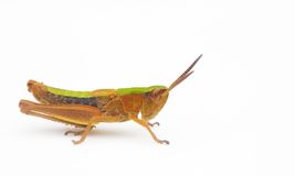 Grasshopper isolated Stock Image