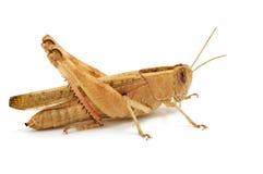 Free Grasshopper Isolated On White Stock Photos - 8150463