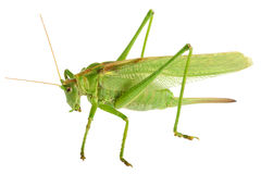 Grasshopper isolated - Tettigonia viridissima Stock Photos