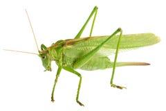 Grasshopper isolated - Tettigonia viridissima Stock Photos