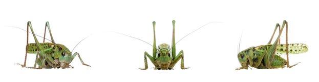 Grasshopper isolated on white Royalty Free Stock Photos