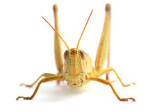 Grasshopper isolated on white Stock Photos