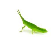 Grasshopper. Isolated on white background Stock Images