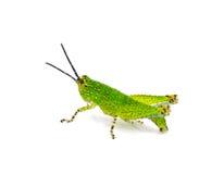 Grasshopper. Isolated on white background Royalty Free Stock Photos