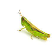 Grasshopper. Isolated on white background Stock Photo
