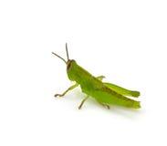 Grasshopper. Isolated on white background Stock Image