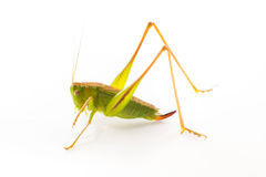Grasshopper isolated Stock Photos