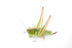 Grasshopper isolated Royalty Free Stock Photos