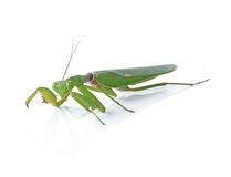 Grasshopper isolated Royalty Free Stock Images