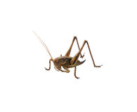 Grasshopper isolated on white Royalty Free Stock Images
