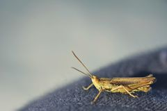 Grasshopper on Jeans. Macro shot of a grasshopper on blue jeans Royalty Free Stock Photography