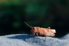 Grasshopper on a jeans background royalty free stock photography