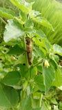Grasshopper Keffi Στοκ φωτογραφία με δικαίωμα ελεύθερης χρήσης