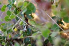 Grasshopper on kickxia spuria plant Stock Photography