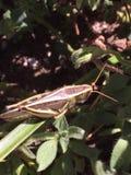 grasshopper immagine stock libera da diritti