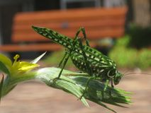 Grasshopper landed on a flower bud royalty free stock images