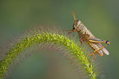 Grasshopper lands on Foxtail Royalty Free Stock Photo