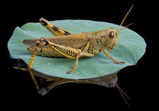 Grasshopper lands on lily pad Royalty Free Stock Photography