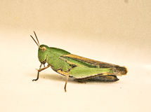 Grasshopper. Large closeup of a vibrant green grasshopper Royalty Free Stock Photo