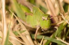 Grasshopper. Large Green Grasshpper in the grass Stock Photography