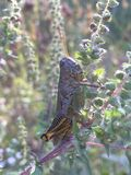 Grasshopper. Large green grasshopper sitting on a branch Royalty Free Stock Images