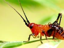 Grasshopper larva Stock Photo