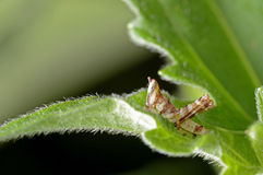 Grasshopper larva Royalty Free Stock Photos