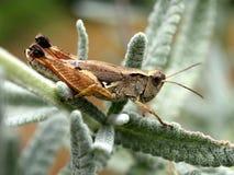 Grasshopper on Lavender. Small brown grasshopper on lavender leaves Royalty Free Stock Images