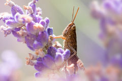 Grasshopper Lavender Στοκ εικόνες με δικαίωμα ελεύθερης χρήσης