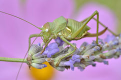 Grasshopper on lavender flower Stock Photos