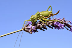 Grasshopper on lavender flower Stock Images