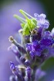 Grasshopper on lavender flowers stock images
