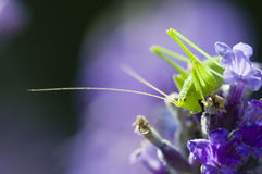 Grasshopper on lavender flowers Royalty Free Stock Images