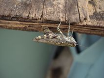 Grasshopper laying eggs Royalty Free Stock Photography