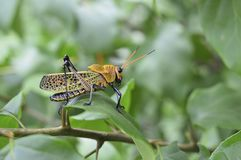 Grasshopper on Leaf Stock Photography