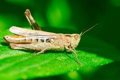 Grasshopper On Leaf Stock Images